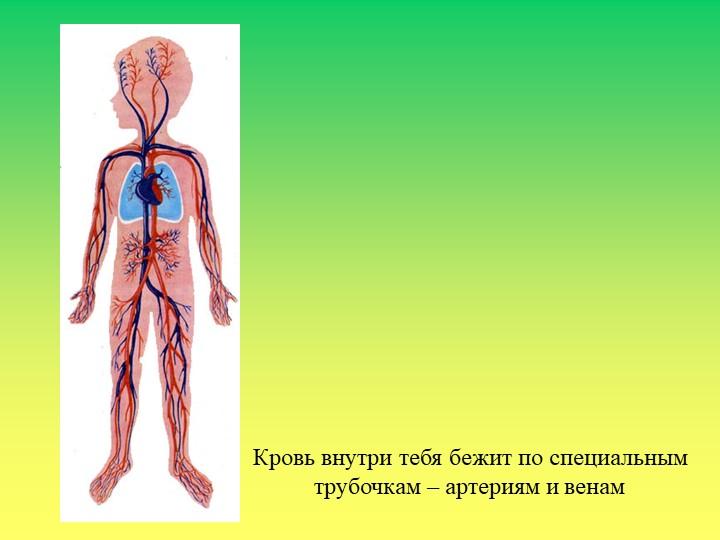 Кровь внутри тебя бежит по специальнымтрубочкам – артериям и венам