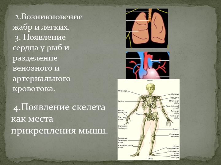 2.Возникновение жабр и легких. 3. Появление сердца у рыб и разделение веноз...