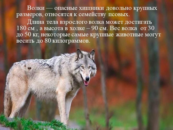 Волки — опасные хищники довольно крупных размеров, относятся к семейству пс...