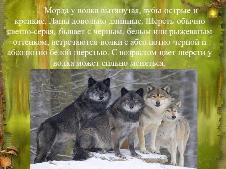 Морда у волка вытянутая, зубы острые и крепкие. Лапы довольно длинные. Шерст...