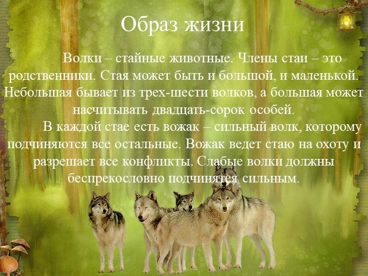 Образ жизниВолки – стайные животные. Члены стаи – это родственники. Стая мож...