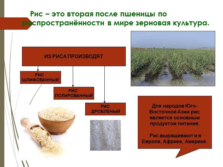 Рис – это вторая после пшеницы по распространённости в мире зерновая...
