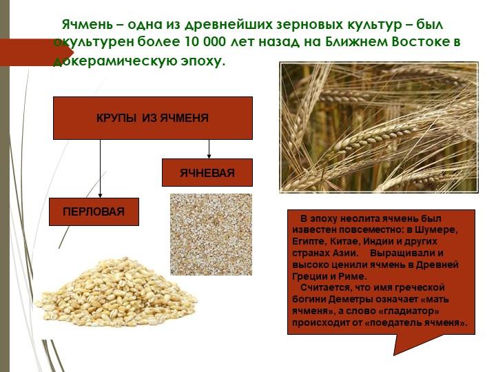 Ячмень – одна из древнейших зерновых культур – был окультурен более 10...