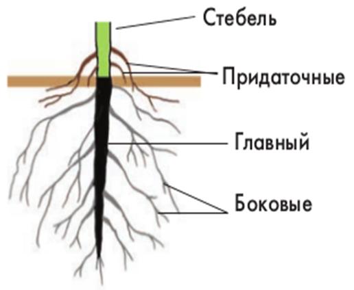Картинки по запросу рисунок корня