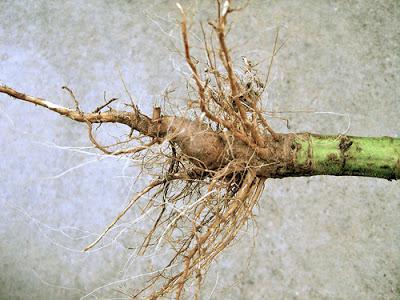 Картинки по запросу подсолнечник корень