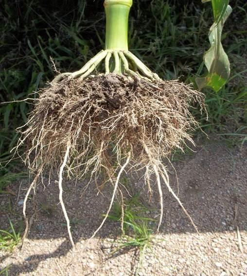 Картинки по запросу корень кукурузы