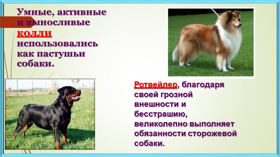 Умные, активные и выносливые колли использовались как пастушьи собаки.Ротвей...